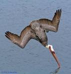 Pelicano pezcando